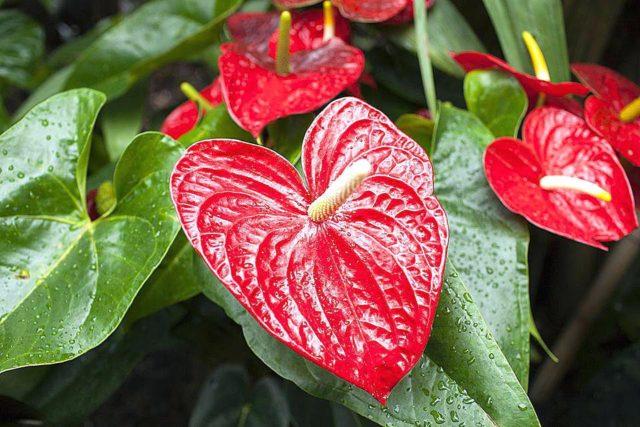 Антуриум - цветок мужское счастье