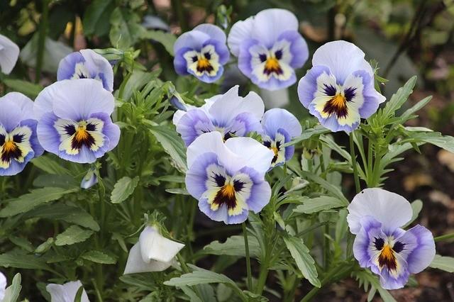 Фиалки фиолетового цвета