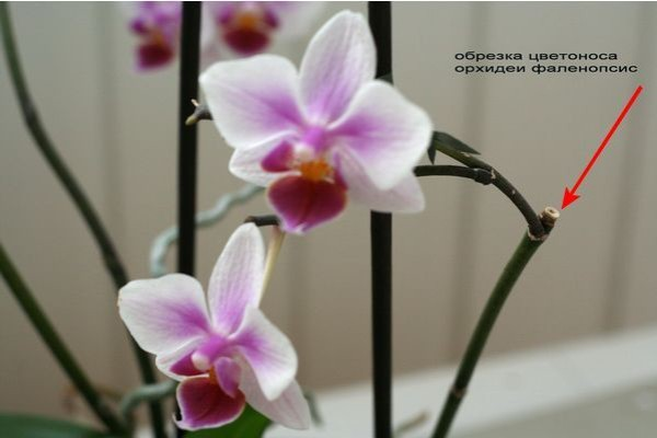 Обрезка цветоноса у фаленопсиса