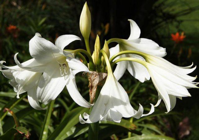 Цветущий кринум