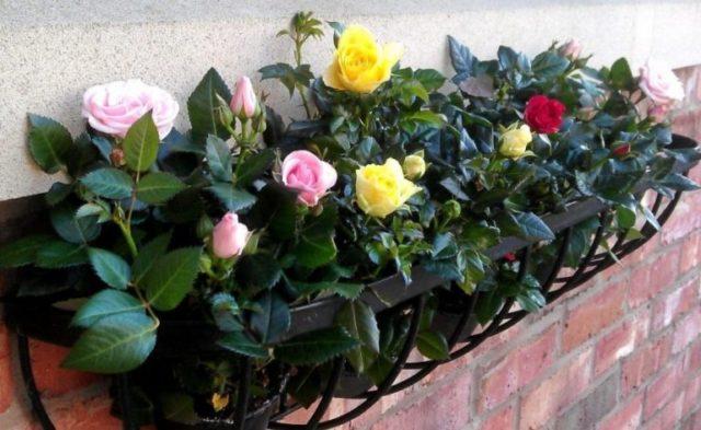 Миниатюрная роза в горшке