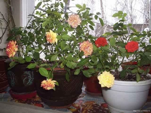 Мини-розы в горшках