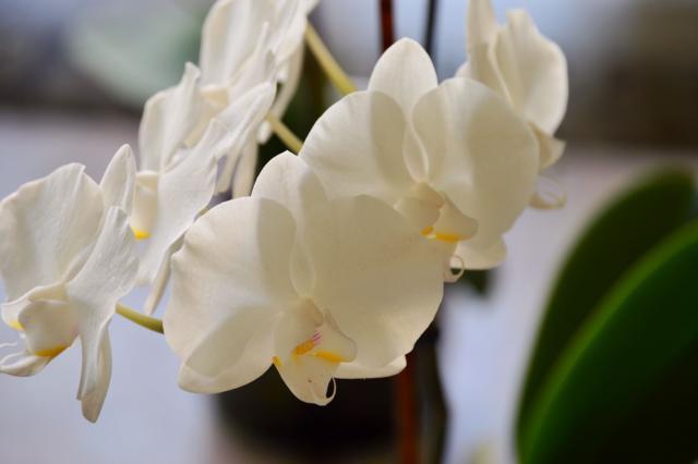 Повторное цветение орхидеи