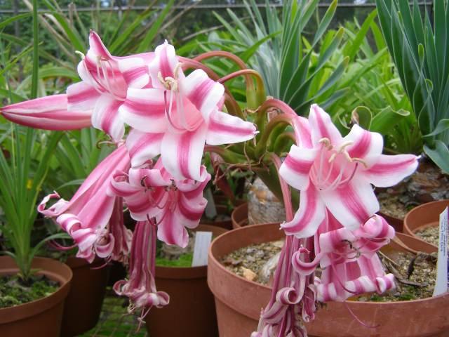 Цветы кринума