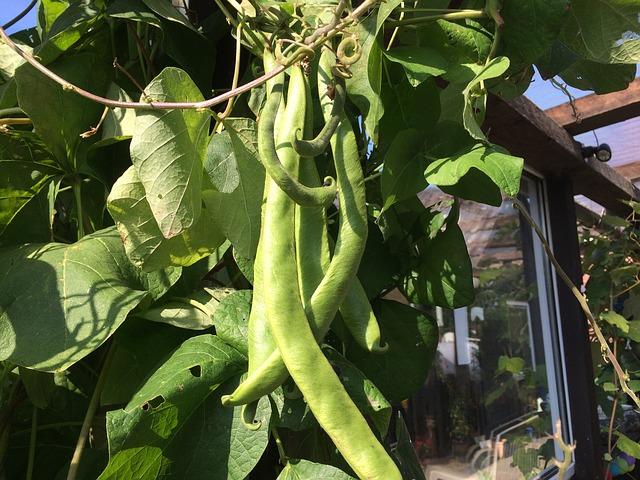 Посадить фасоль в открытый грунт