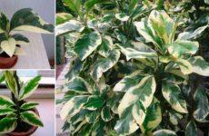 Пизония зонтичная – редкий вид растения