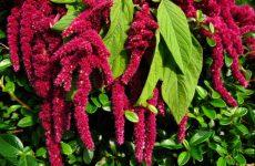 Амарант – декоративное и полезное растение