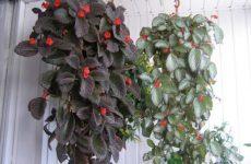 Эписция – комнатное почвопокровное растение