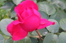 Фотогалерея цветов