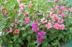 Кларкия – яркая альтернатива розовым бутонам