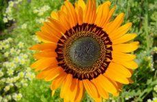 Венидиум – африканские страсти в саду