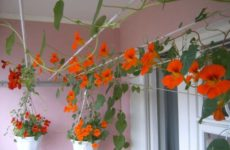 Необычное украшение балкона цветами настурции