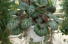 Домашняя камнеломка — растение для северного окна