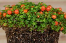 Нертера гранадская, размножение и уход