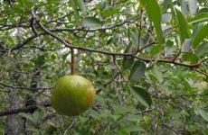 Ксилокарпус гранатовый, экзотическое растение для дома