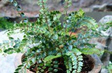 Пеллея круглолистная – поникающее растение