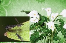 Мушки сциариды – вредители комнатных растений