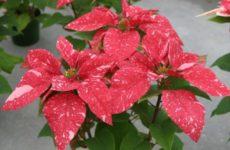 Цветок Пуансетия на рождественском подоконнике