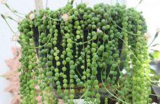 Крестовник Геррейна – растение удивительной формы