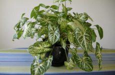 Сингониум – эффектное вьющееся растение для дома