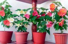 Абутилон или цветущий клен для дома