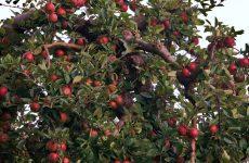 Жизнь моей старой яблони. Обрезка и формирование