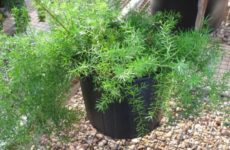 Аспарагус густоцветковый – неприхотливое растение
