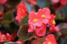 Бегония коралловая – роскошное украшение для дома