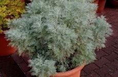 Полынь горькая – ароматическое зеленое растение