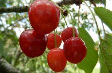 Подбор сортов вишни для сада