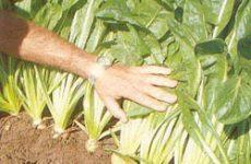 Цикорный салат – витлуф, выращивание на участке и дома