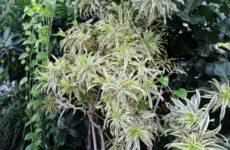 Хлорофитум, растение без претензий