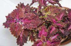 Кoлeyc – домашнее растение