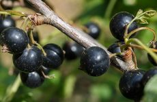 Черная смородина – посадка и уход