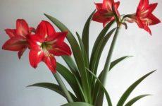 Комнатная лилия или амариллис