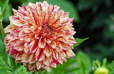 Георгины клубневые – посадка, уход и хранение