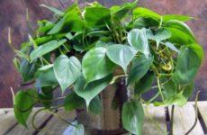 Эпипремнум – домашняя лиана