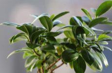 Фикус каучуконосный – мир и спокойствие в доме