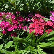 Фото многолетних цветов на даче