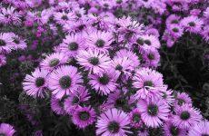 Астра новоанглийская – поздняя звезда сада