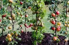 Плодовый сад с пирамидальными кронами