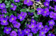 Почвопокровные растения – райские кущи для начинающих
