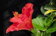 Гибискус или китайская роза, уход и размножение