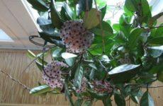 Хойя – лиана с ароматными цветами