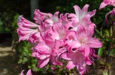 Правила выращивания лилии садовой