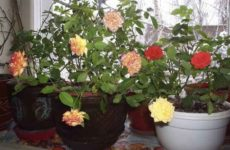 Горшечные красавицы – миниатюрные розы