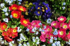 Примула. Первоцвет в саду