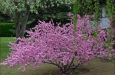 Луизеания – розовое чудо!