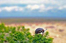 Как можно избавиться от колорадского жука