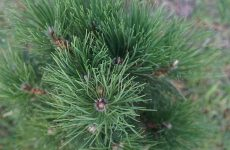 Вечнозеленое хвойное дерево – украшение сада